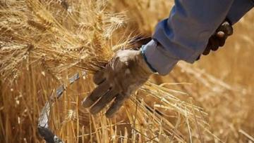 Iran Wheat Production Estimated to Reach 13.5m Tons This Year