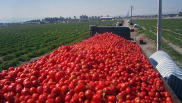 Tomato Exports Top $50m in One Month