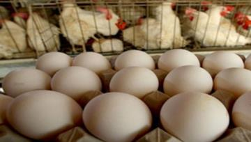 Iran Gov't Lifts Egg, Chicken Export Ban