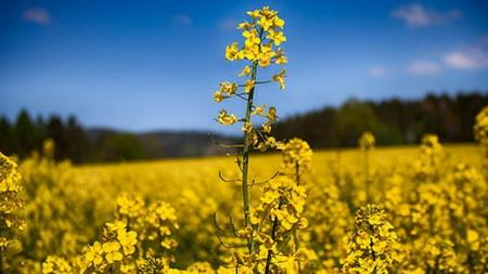 Rise in Oilseed Output Expected 30 percent