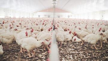 Iran Posts 20percent Rise in Poultry Production